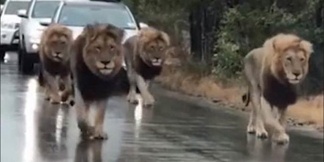 Лавовите имаат предност на овој пат во Јужна Африка