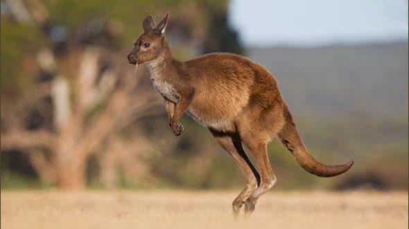 (ФОТО) Тажна приказна – Бебе кенгур прави се, да ја оживее својата мајка