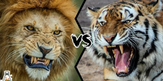 (ВИДЕО) КОНЕЧНО ОТКРИЕНО КОЈ Е ПОСИЛЕН! Лав и тигар се фатија за гуша, започна борба за живот и смрт